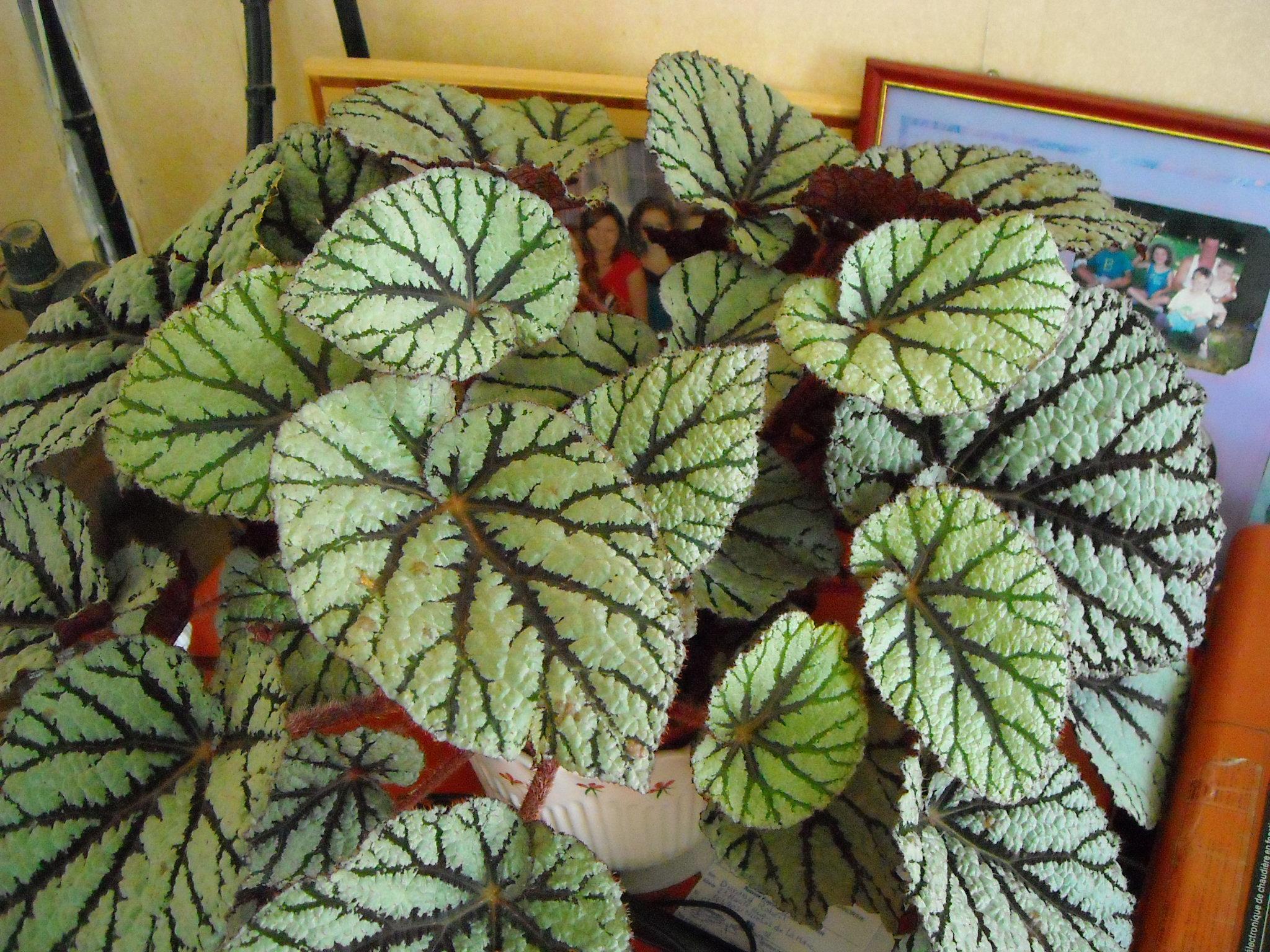 begonia rex 'Rocheart' :un pti nouveau sans nom ! 599947begoniarex001