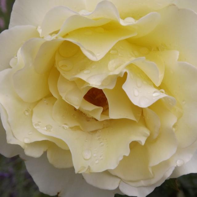 rosier 'Queen Elisabeth' 609563rosierjaune1