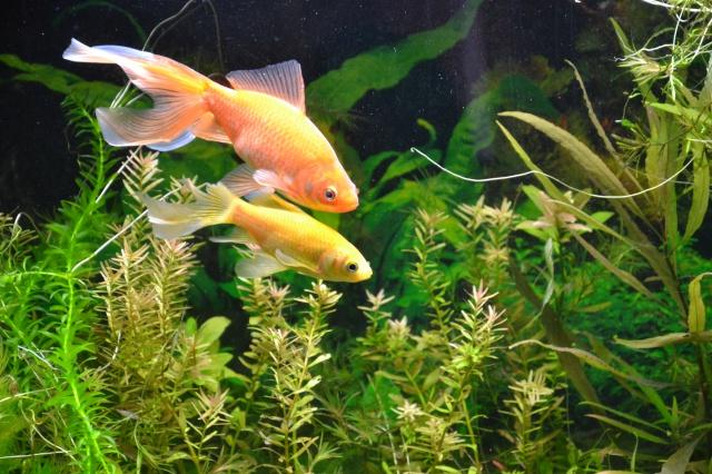 Je vous présente mon aquarium! =D 611575Lejourdeleurintroductiondansle120L