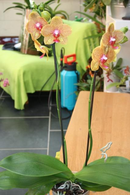 phalaenopsis samt und seide x carmelas brite lites 612604IMG9645