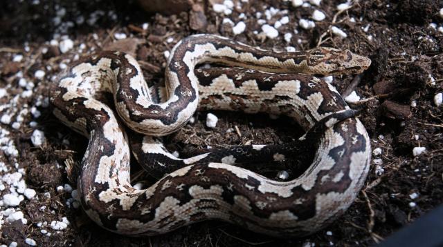 Candoia paulsoni(Santa Isabel) 615847Candoia2