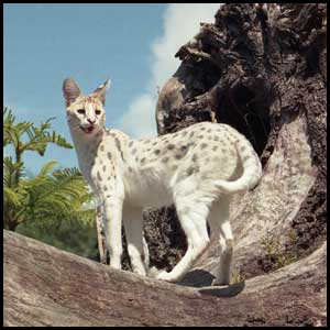 Fiches Animaux 618260SERVAL2