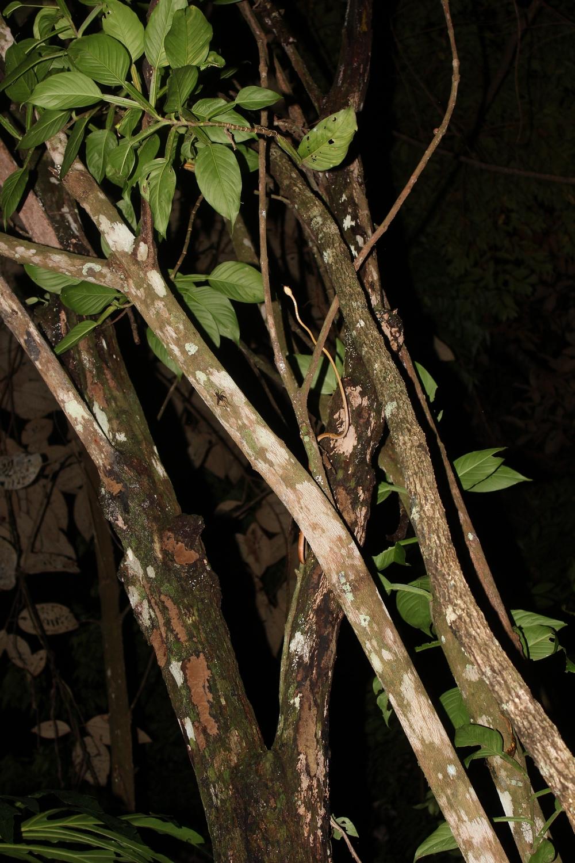 15 jours dans la jungle du Costa Rica - Page 2 618766innornatus2r