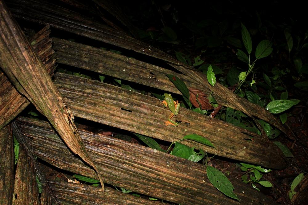 15 jours dans la jungle du Costa Rica - Page 2 623381spureli1r