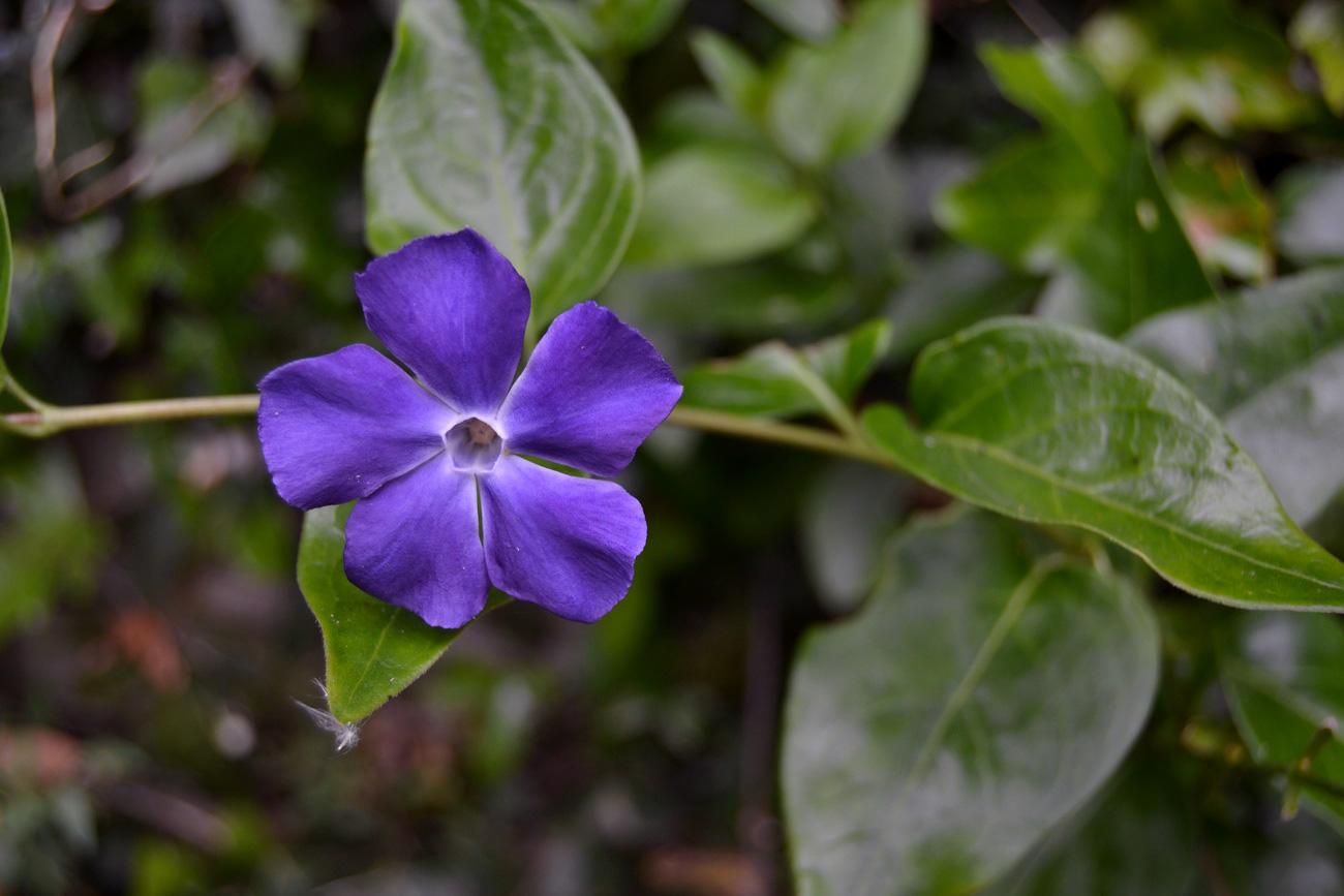 [Fil Ouvert] Fleurs 623959pervenche
