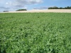 Couverts végétaux et pièges à nitrates