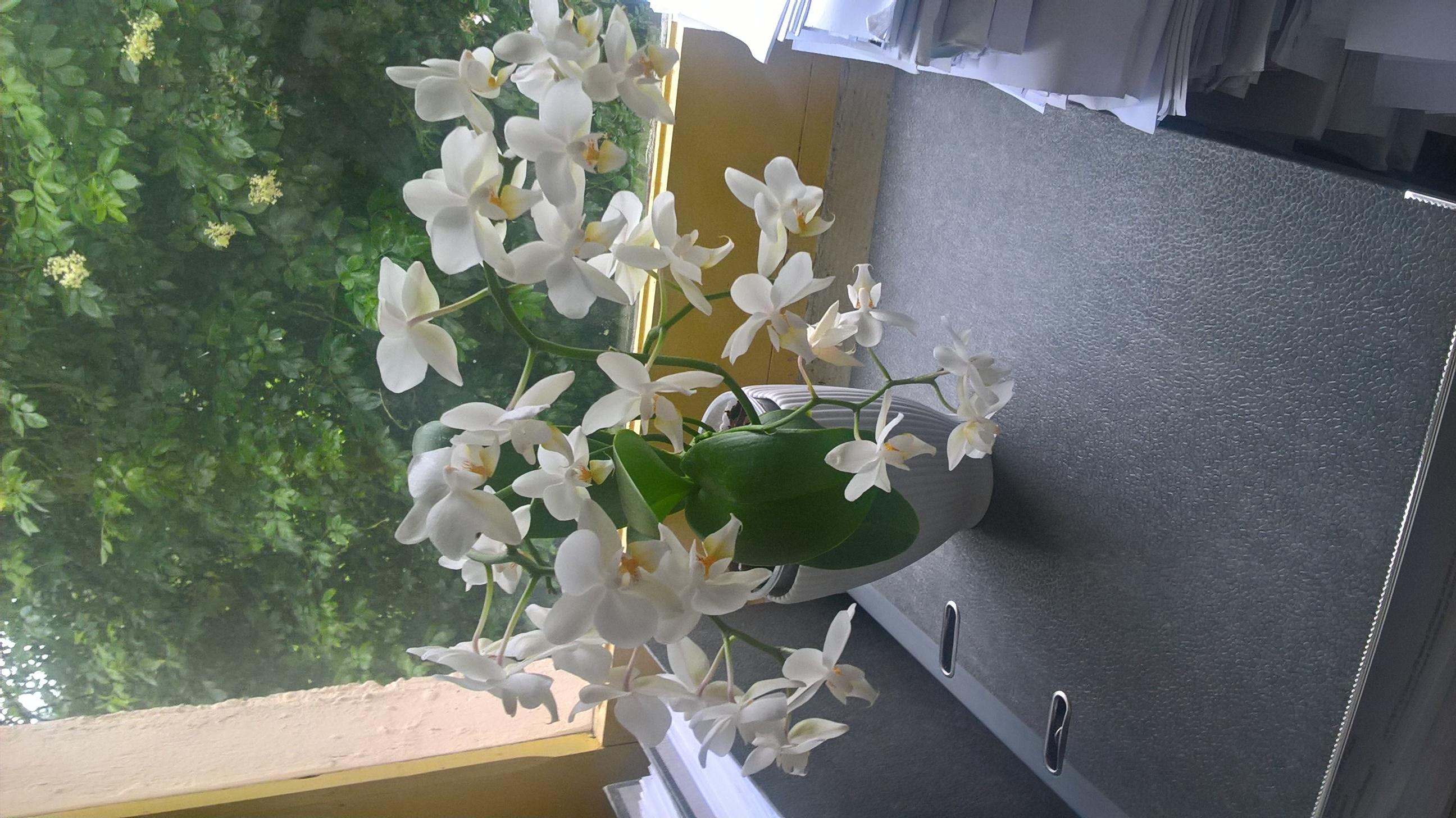 les orchidées d'Edith - Page 3 632077WP20160616181657Pro