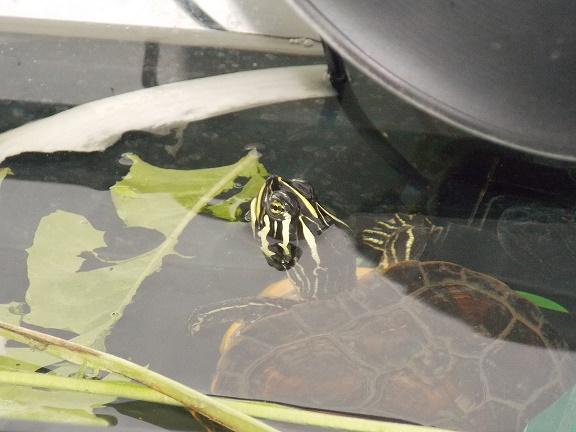 Femelle Pseudemys Nelsoni 638536DSCN59272