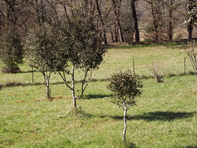 Quercus ilex - chêne vert 638801DSCF5009