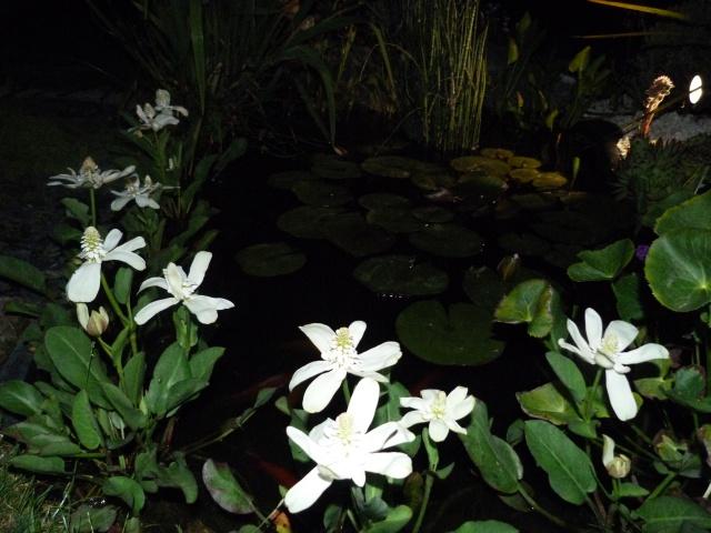 Anemopsis californica - yerba mansa 639035P1070458