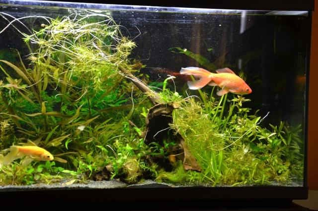 Je vous présente mon aquarium! =D 639488Maracine
