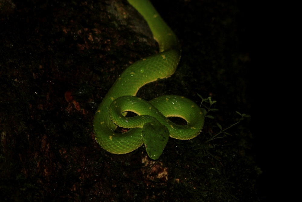 15 jours dans la jungle du Costa Rica - Page 2 643918lateralis5r