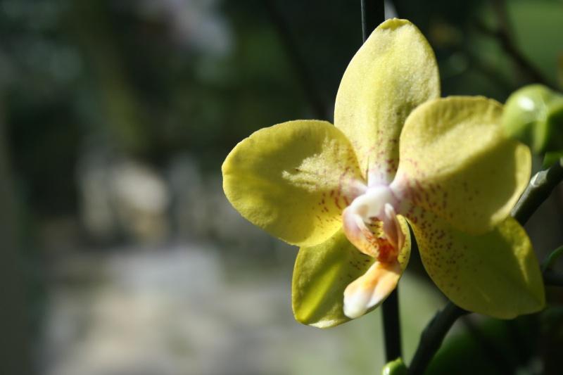 phalaenopsis jaune 644001IMG8628