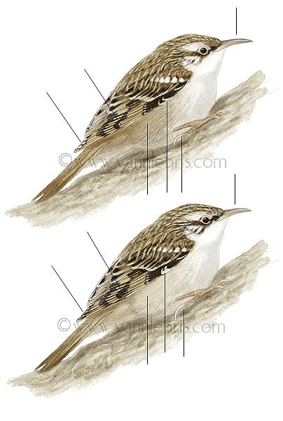 Identification oiseaux - Page 2 650379grimps
