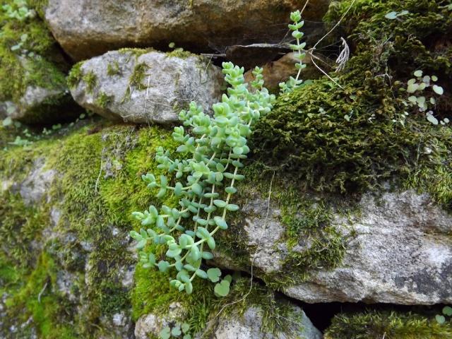 flore des vieux murs, rochers  et rocailles naturelles - Page 2 651740sedumdasy1