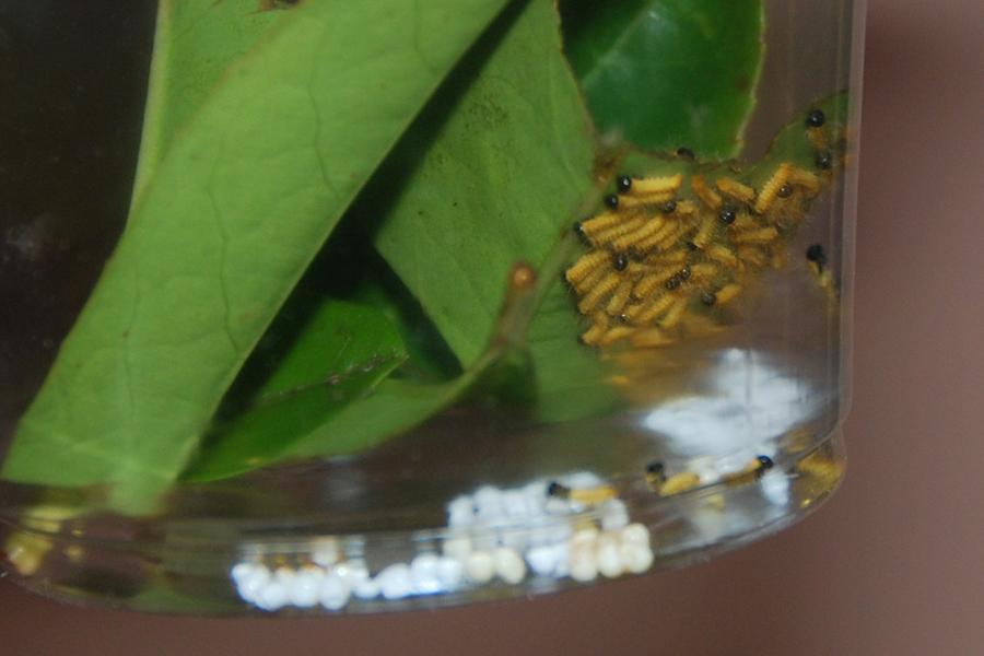 Imbrasia wahlbergi 655998imbrasiasecondgDSC9355