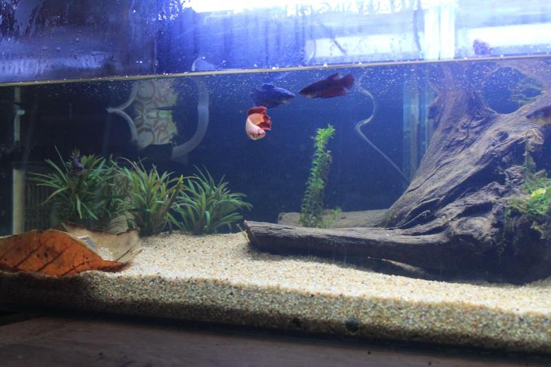 aquarium  100l pour mes femelles 657565ebay014
