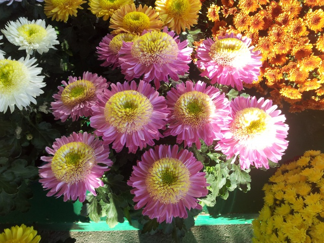 chrysanthèmes à gogo - Page 2 66040120141028084803