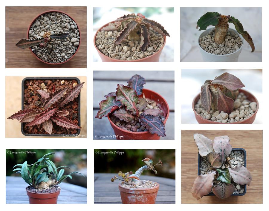 Euphorbia francoisii 660496francoisii