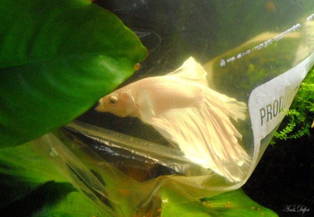 Tous mes poissons + crevettes - Page 5 661470654