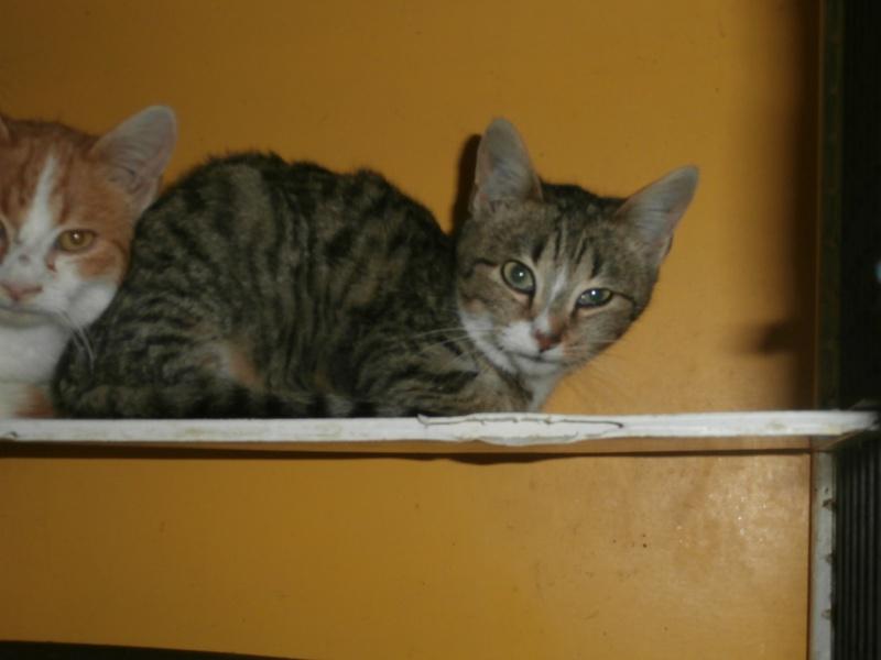 FRIPOUILLE (chaton européen tigré) 661785PB291789