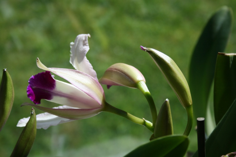 cattleya intermedia Laelia purpurata - Page 3 662980IMG8781