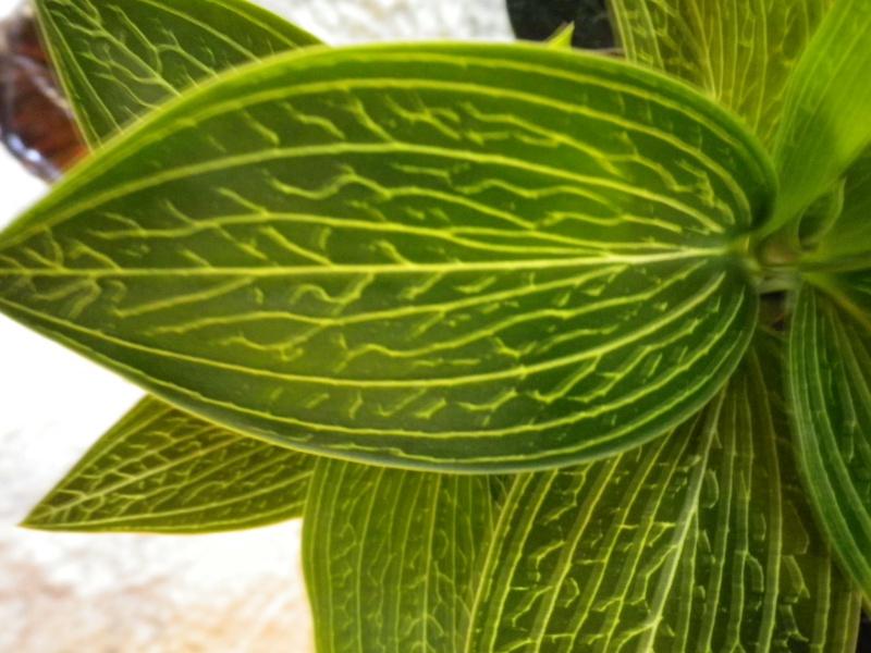 Mes quelques orchidées... 663107IMGP3877