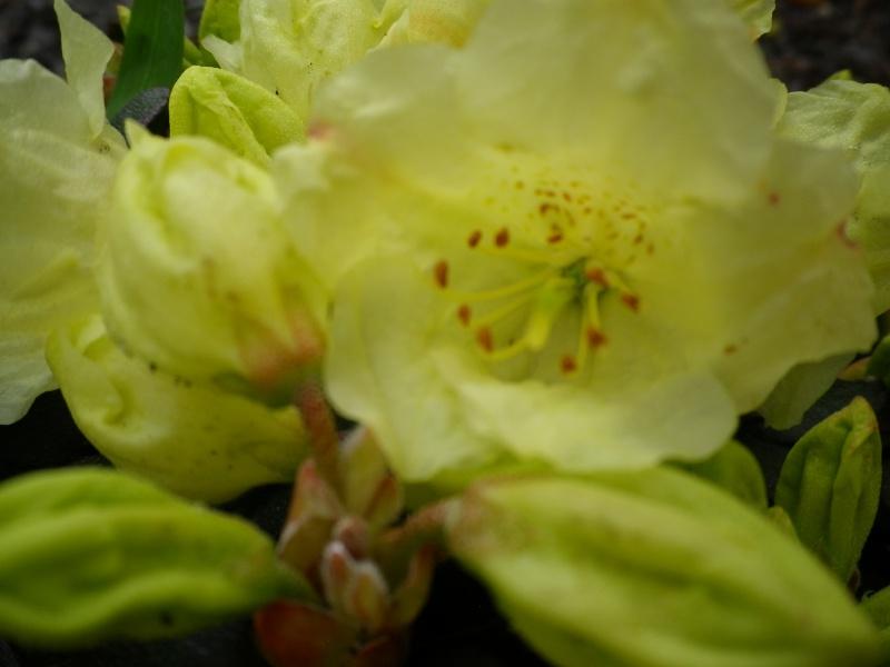 Quelques floraisons - Page 2 670469AzaleIMGP2940