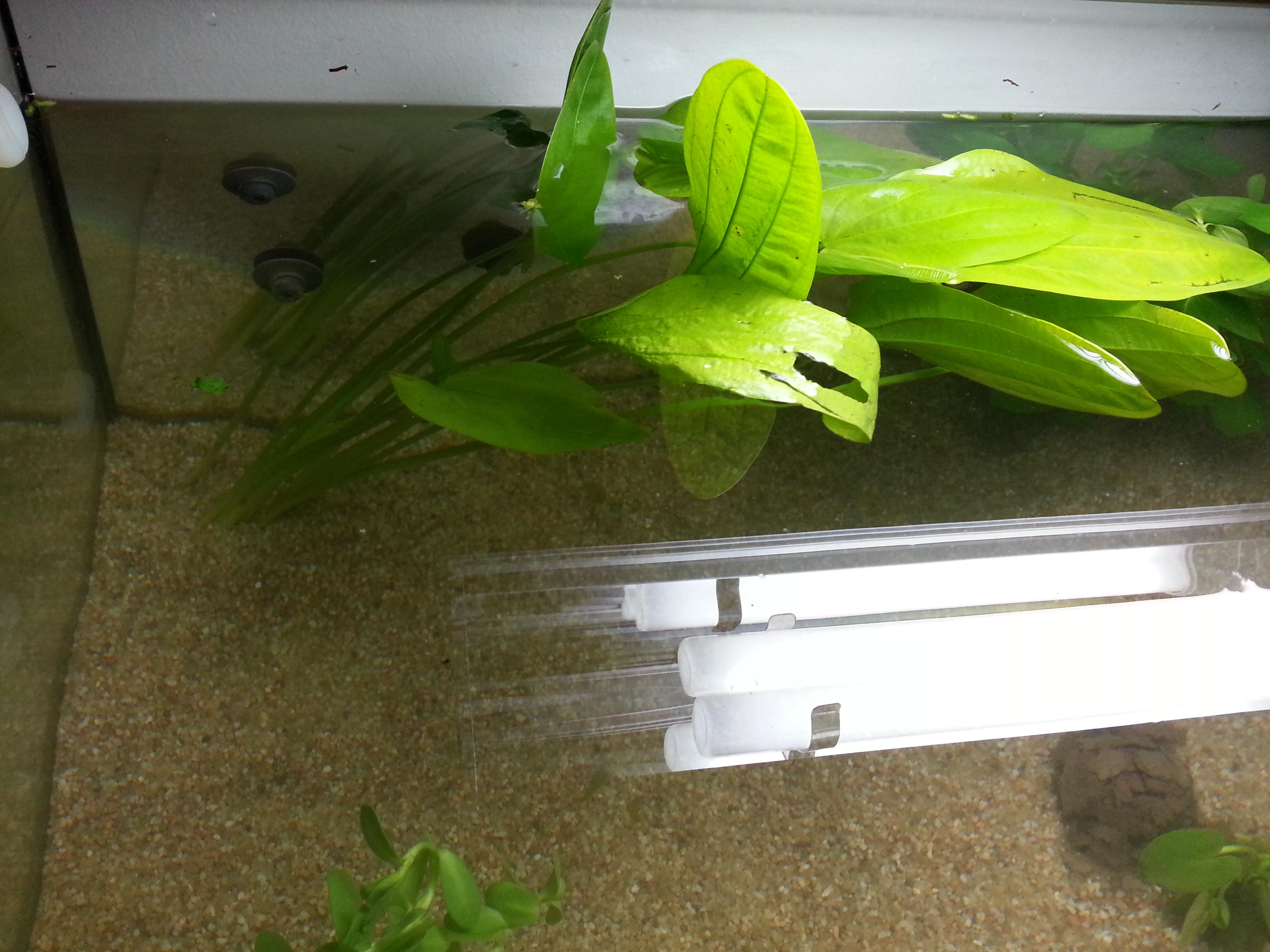 plante dans un aquarium 67299320130613003135