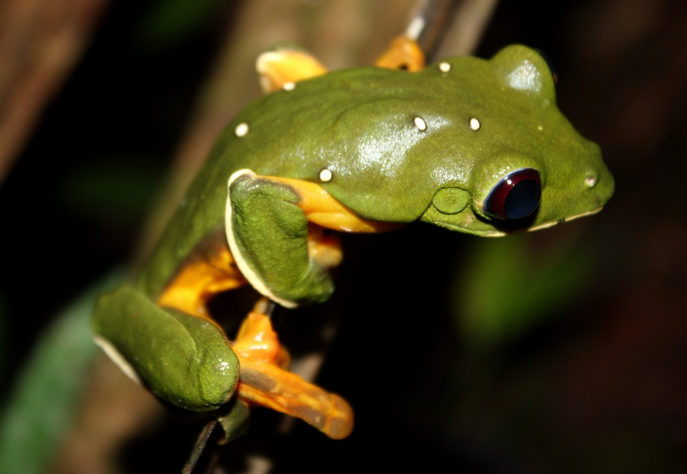 15 jours dans la jungle du Costa Rica - Page 2 674041spureli3r