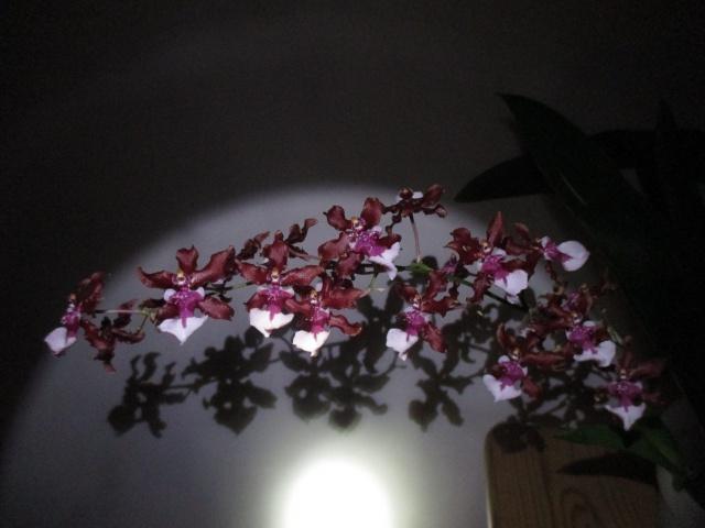 Oncidium Sharry Baby 'Sweet Fragrance' 676696IMG8917