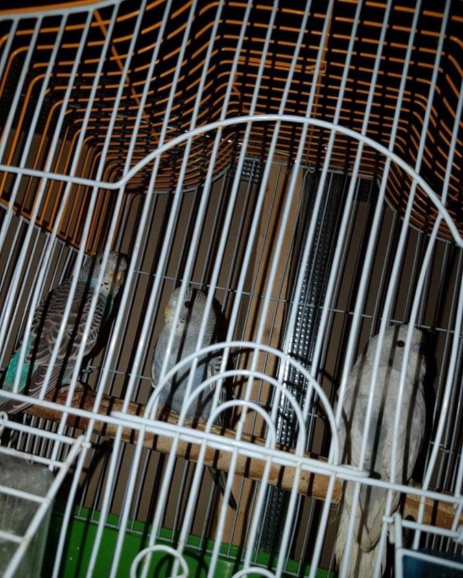 ثلاثة حبات طيور الحب للبيع 678860702