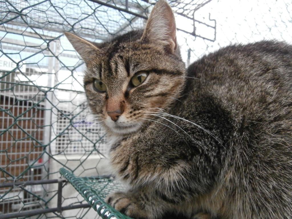 TARTINE (femelle européenne tigrée)  681409P4182455