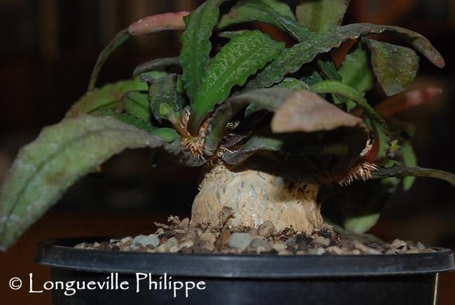 Euphorbia francoisii - Page 4 681556EF35