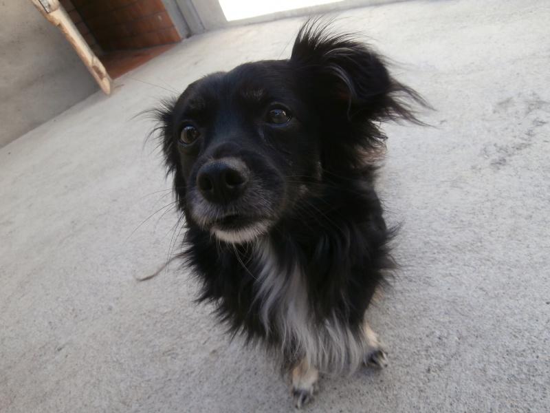TAPAS (mâle croisé épagneul tibétain) 685332P8053337