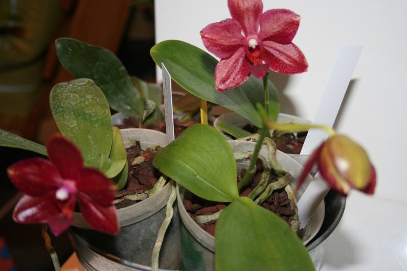 phalaenopsis miva midi libre 688047IMG8724