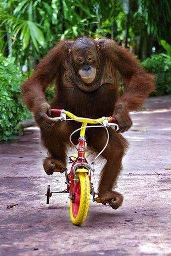 L'hivernale de Vélo Vintage @  Gogo : LES SÏNGES 3 février 2013 ! 692229orangutan