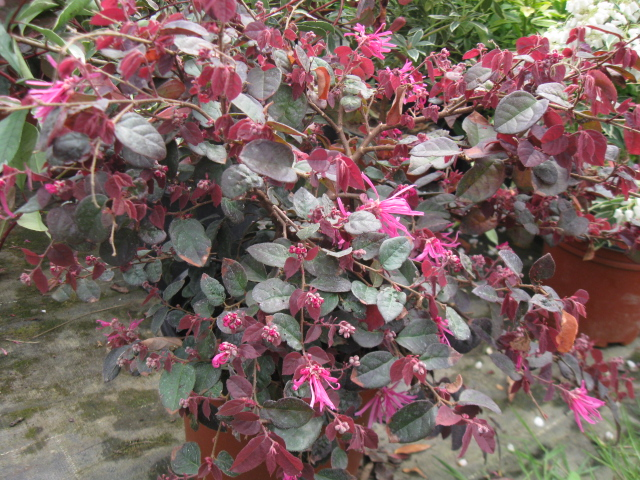 Loropetalum chinensis 695421IMG0286