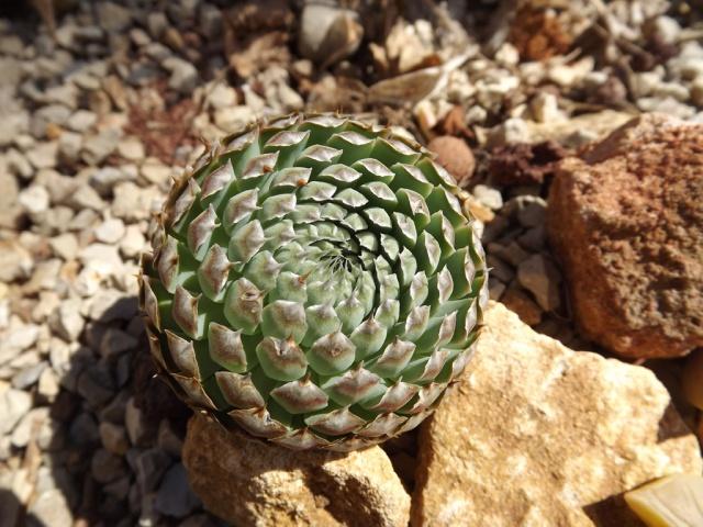 Orostachys spinosa 696097orostachysspinosa1