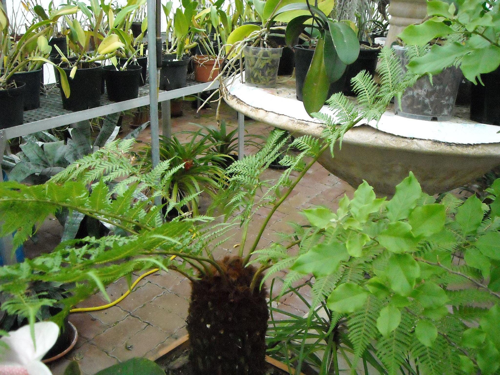 asplenium nidus fimbriatum 696179serrenoel019