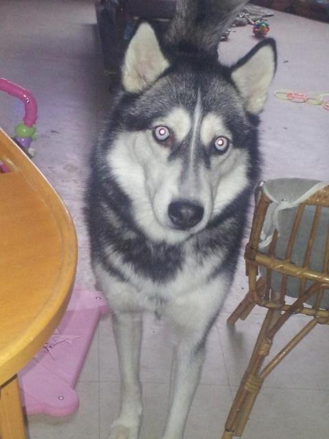 Yvi (Ayvi)     chiot husky femelle souffle au coeur ASSO:94 6964538janv152