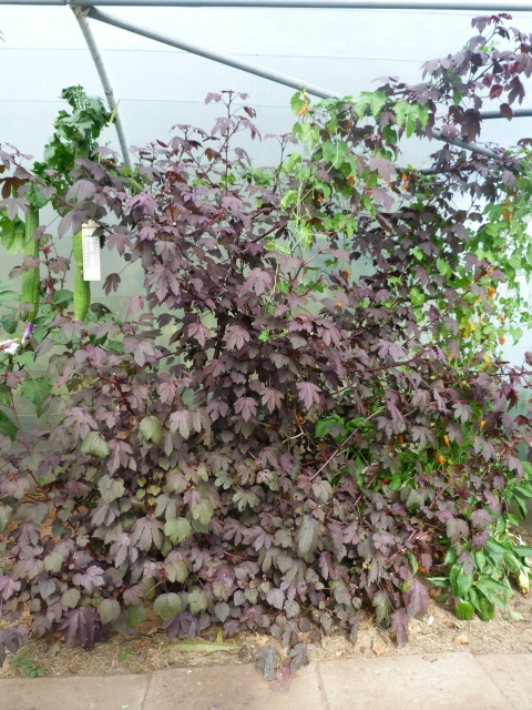 Hibiscus acetosella  70694733505