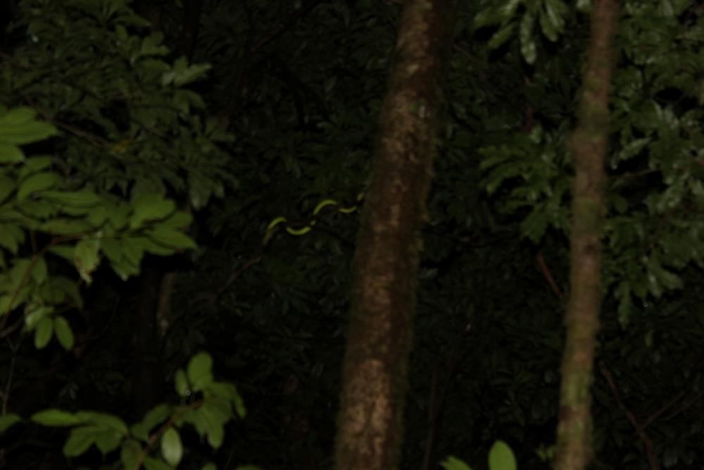 15 jours dans la jungle du Costa Rica - Page 2 707456lateralis2r