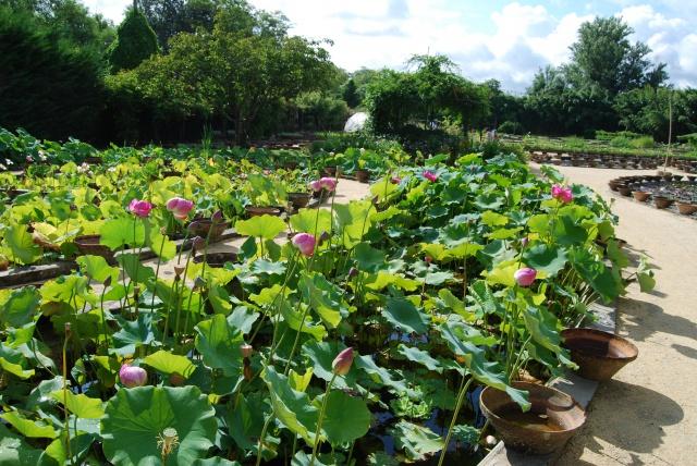 (47) Latour-Marliac, jardin de nénuphars - Le Temple-sur-Lot 708339DSC4948