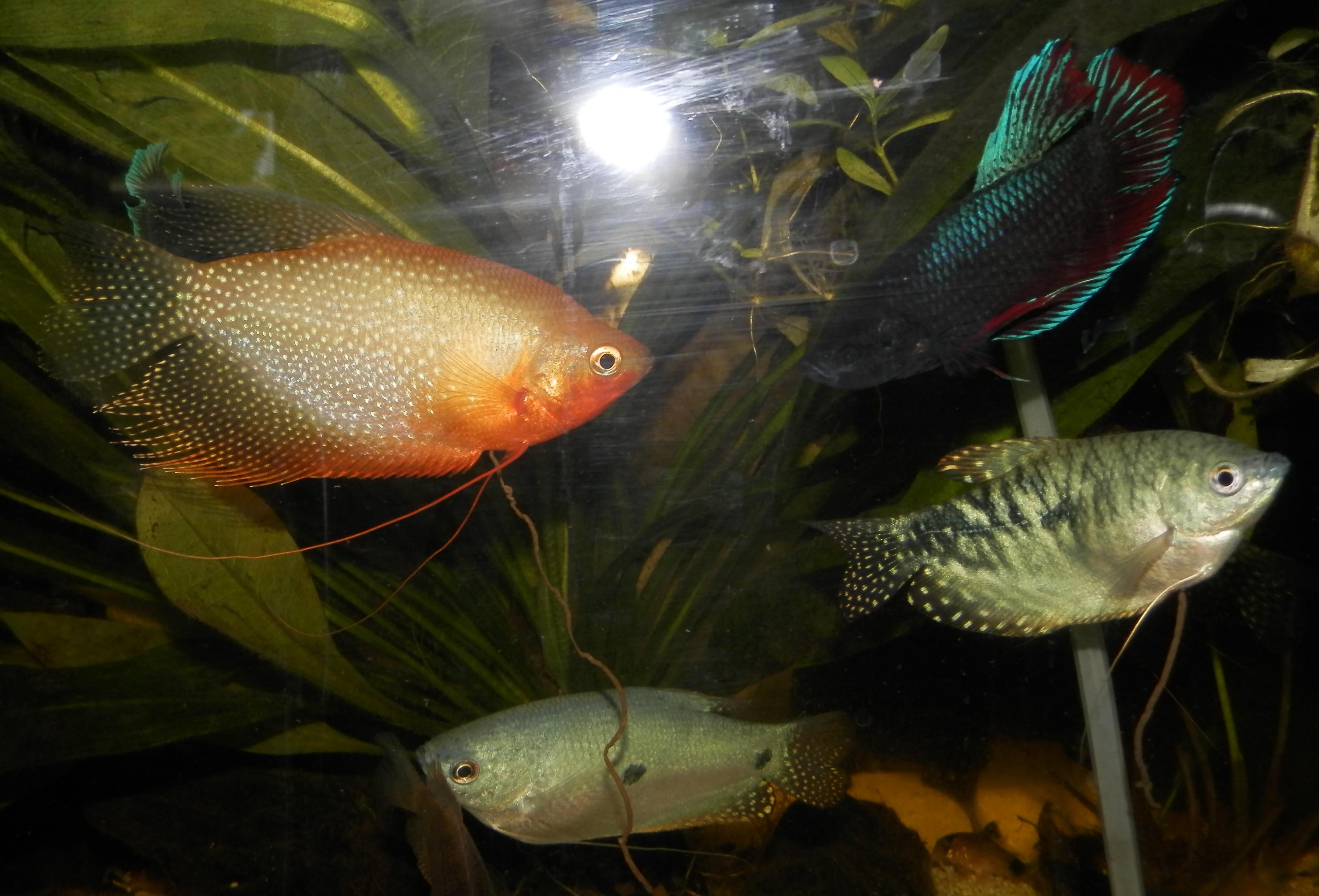 Trichopterus (Gourami Bleu) - couple ? 709078184