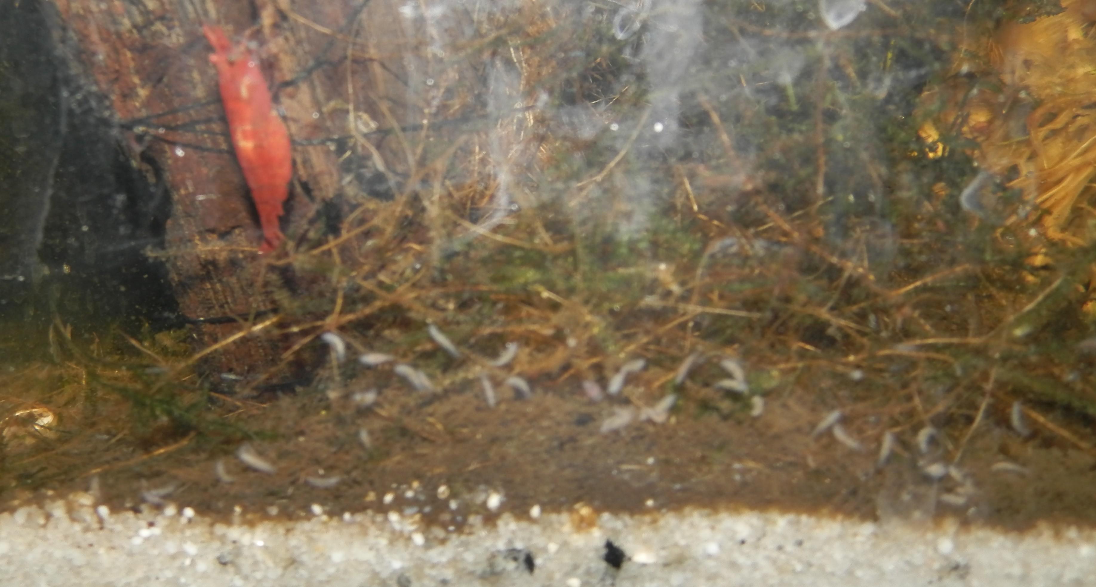 """[Identification] """"Bestiole"""" dans bac à crevettes 709203Sanstitre1"""