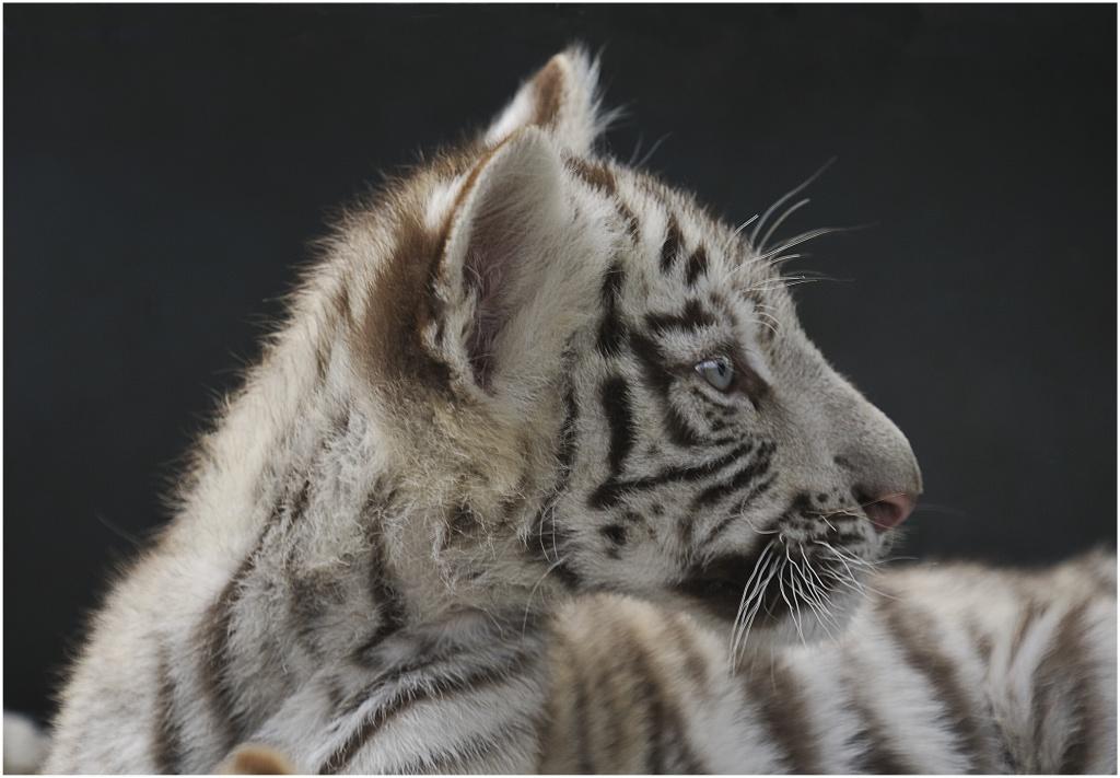 Sortie au Zoo d'Olmen (à côté de Hasselt) le samedi 14 juillet : Les photos 710753Jeunetigreblanc115
