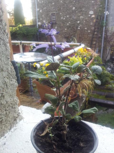 Plectranthus 'Mona Lavender' 71457720161106091638