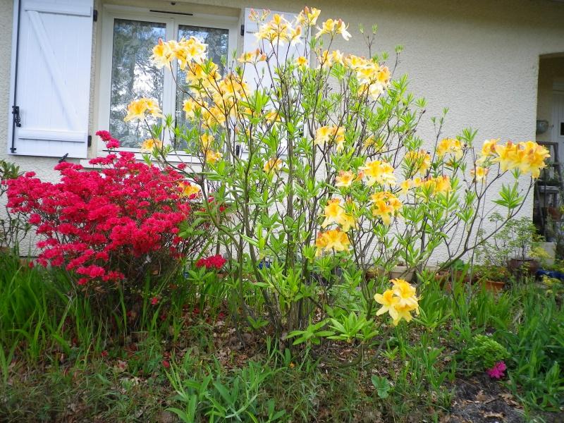 Quelques floraisons - Page 2 721414AzalesIMGP2929