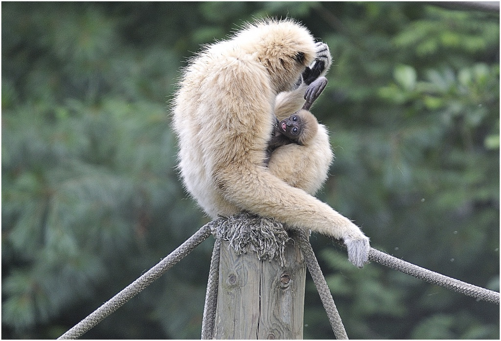Sortie au Zoo d'Olmen (à côté de Hasselt) le samedi 14 juillet : Les photos 729768PetitGibon